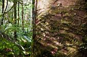 Giant kauri tree, bark, Agathis australis, Waipoua Forest, North Island, New Zealand