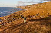 Hiker walking along a hilly coastal walk, private farmland, Te Hapu, Tasman Region, West Coast, South Island, New Zealand