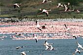 Lesser Flamingoes in flight, Phoeniconaias minor, Arusha National Park, Tanzania, East Africa, Africa