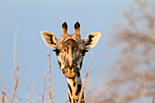 Massai Giraffe eating Acacia, Ruaha National Park, Tanzania, East Africa, Africa