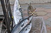 Kitten smelling fish in the basket, Tonsai Village, Ko Phi Phi, Andaman Sea, Thailand, Asia