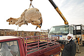 Loading camels into a vehicle, Animal Souk, Salwa Road, Doha, Qatar, Arabian Peninsula
