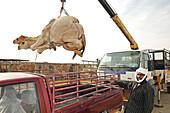 Loading camels into a vehicle, Animal Souk, Salwa Road, Doha, Qatar, Arabian Peninsula