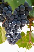 Malbec grapes on the vine in the vineyard of Bodega El Esteco winery, Cafayate, Salta, Argentina