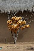 Corn husks hanging to dry along the road between Ranohira & Ambalavao, Fianarantsoa Province, Madagascar