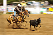 Hawaii, Maui, Makawao, Cowboy roping calf at 2010 4th of July Makawao Rodeo, Blurred action. Editorial Use Only.