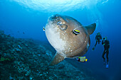 Pacific Ocean, Indonesia, Bali, Nusa Penida, Crystal Bay, Divers photograph an Ocean Sunfish (Mola mola) being cleaned by an Angelfish and Longfin Bannerfish