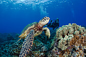 Endangered green sea turtle (Chelonia mydas), a common sight around Hawaii, being photographed by a diver.