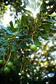 Hawaii, Kauai, closeup of macadamian nuts on a tree.