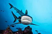 Micronesia, Yap, Gray Reef Shark (Carcharhinus amblyrhynchos.