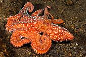Indonesia, Komodo, Starry night octopus (Octopus luteus), tentacles curled over sandy seafloor.