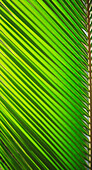 Graphic detail of coconut palm leaf.
