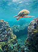 Hawaii, Green sea turtle (Chelonia mydas) an endangered species.