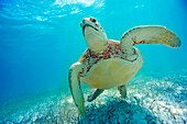 Mexico, Yucatan Peninsula, Green sea turtle (Chelonia mydas) an endangered species.