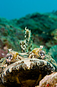 Micronesia, Yap, Crocodile fish (Cymbacephalus beauforti) looking at the camera, .