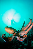 Canada, British Columbia, Giant pacific octopus with diver viewing down.