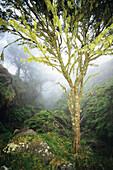 Hawaii, Maui, Kaupo, Tree with moss growth, lush greenery, foggy scenic.