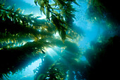California, Catalina Island, Sunlight streaming through a forest of giant kelp (Macrocystis pyrifera).