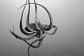 Hawaii, Day octopus (Octopus cyanea) in ocean water (Black and white photograph).