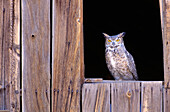 Great Horned Owl (Bubo virginianus) in barn window.