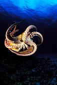 Hawaii, Day Octopus (Octopus cyanea), View of curling legs from underside, clear blue ocean water.
