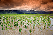 Hawaii, Kauai, Hanalei, Afternoon threatening clouds hang over a taro field.