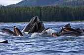 Alaska, Frederick Sound, Humpback whales (megaptera novanglia) bubble net feeding on herring.