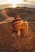 Hawaii, Oahu, North Shore, seashell stuck in the sand with sun setting behind it.
