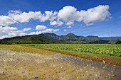 Hawaii, Kauai, Hanalei Valley, wet taro farm, scenic mountains and blue sky.