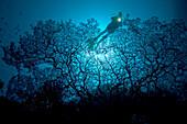 Indonesia, Banda Sea, Gorgonia sea fan dominates this reef scene with a diver.