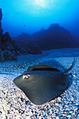 California, Baja, Socorro, Unidentified species of stingray on ocean floor, sunburst above.