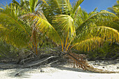 French Polynesia, Tuamotu, Palm trees growing low to the ground on white sand beach
