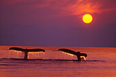 Alaska, Panhandle, Inside Passage. 2 Humpback whales fluke by a fiery sunset.