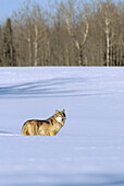 Alaska, Gray wolf standing in deep winter snow.