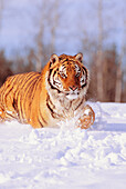 Alaska, Siberian Tiger (Panthera tigris altaica) stalking prey in deep winter snow.