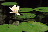 Water lily, white