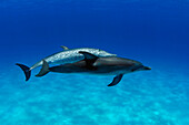 Atlantic Spotted Dolphin, Stenella plagiodon, two swimming together