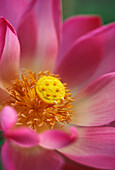 Extreme close-up of pink and white lotus blossom with yellow center