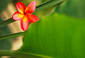 Pink plumeria flower resting on banana plant stem leaves in background