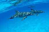 Caribbean, Bahamas, Spotted Dolphins (stenella frontalis) [For use up to 13x20 only]