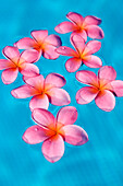 Bright pink plumerias floating in turquoise water.