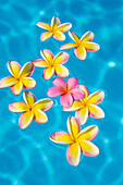 Bright yellow plumeria's floating around one pink one in turquoise water.