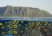 [DC] Hawaii, Oahu, Split view of a School of Racoon ButterflyFish (Chaetodon lunula) along reef and mountain range.