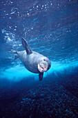 Hawaiian Monk Seal (Monachus schauinslandi) with mouth open swimming downward A96F