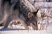 Alaska, Toklat River Valley, gray wolf (Canis lupus) nose in snow A52H