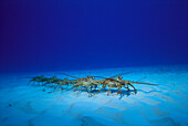 Caribbean, Bahamas, Caribbean spiny lobster march in line along sandy bottom (Panulirus argus) annual migration from juvenile to adult habitat D1834