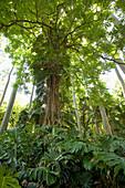 Hawaii, Maui, Keanae, Lush vines amongst the forest.