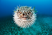 Hawaii, The spotted porcupinefish (Diodon hystrix) floating in deep blue pacific waters.