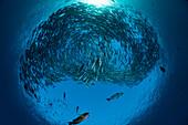 Indonesia, Bali, Tulamben, Schooling Bigeye Jacks (Caranx sexfasciatus) above the Liberty Wreck.