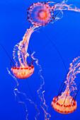 California, Monterey, Three orange Jellyfish (Cnidarian) in the Monterey Aquarium.
